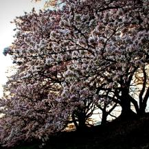 Les fleurs de cerisiers
