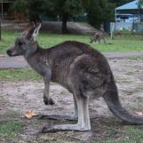 Kangourou ou Wallaby?